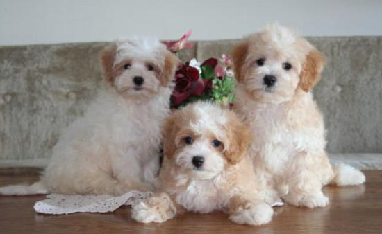 Adult Maltipoo Puppies for Sale