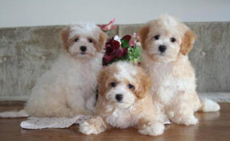 Maltipoo Puppies for Sale FL