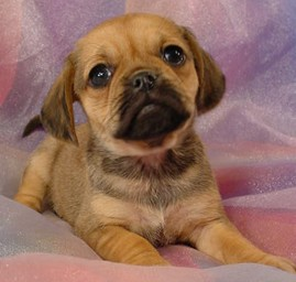 puggle puppies for sale florida