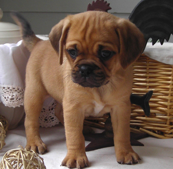 Puggle Puppies For Sale Parkland FL Puppies For Sale