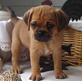 Puggle Puppies for Sale Parkland FL