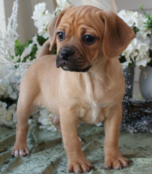Puggle Puppies For Sale Parkland FL | Puppies for Sale