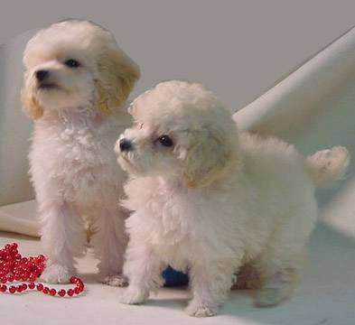 Poodle Puppies on Toy Poodle Puppies For Sale  Parkland Florida    Puppies For Sale