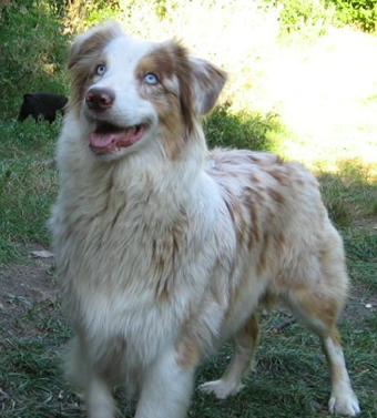 "Boca Raton Puppies ""Australian Shepherd ""   Puppies Boca Raton"