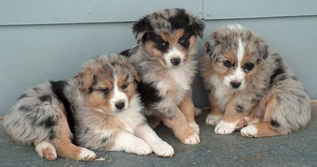 Australian Shepherd Puppies For Sale Parkland FL | Puppies for Sale