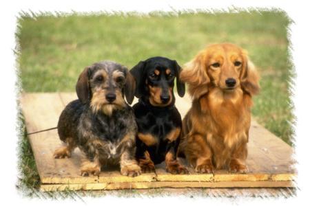 Aussie Puppies For Sale Fl Puppies For Sale