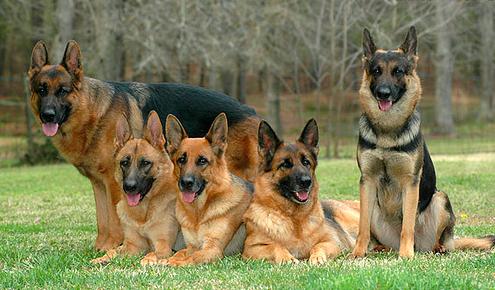 german-shepherd_puppies-for-sale_delray-beach-fl.png