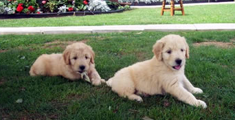 Puppies For Sale Parkland Goldendoodles Puppies For Sale