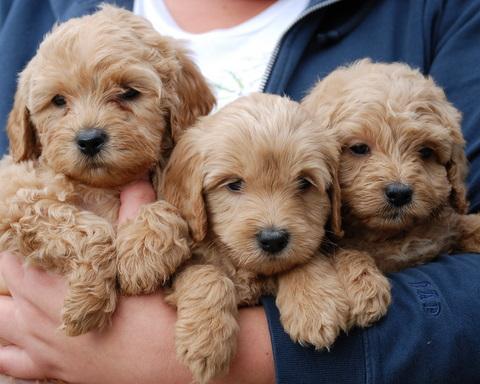 Labradoodle Puppies For Sale Parkland Fl Puppies For Sale