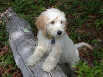 "Puppies Boca Raton ""GoldenDoodle"" 