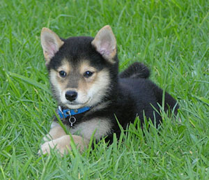 Shiba Inu Puppies For Sale Delray Beach Fl Puppies For Sale