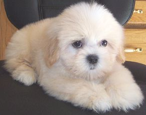 Teddy Bears  Sale on Teddy Bear Puppies For Sale Boca Raton Fl   Puppies For Sale