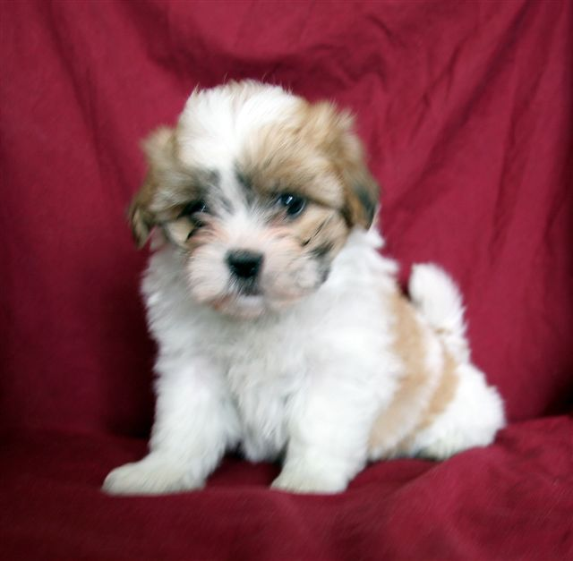 Teddy Bear Puppies Black And White Teddy bear puppies for sale at